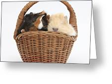 Baby Guinea Pigs In A Wicker Basket Greeting Card