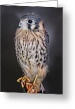 Baby Kestrel Falcon Greeting Card