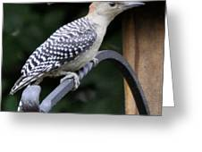 Baby Redbellied Woodpecker Greeting Card