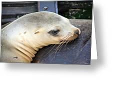 Baby Seal Greeting Card