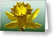 Backlit Daffodil Greeting Card