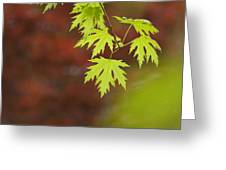 Backlit Maple Leaves On A Branch Greeting Card by Greg Dale