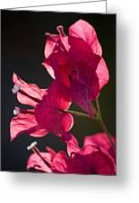 Backlit Pink Greeting Card