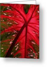 Backlit Red Leaf Greeting Card
