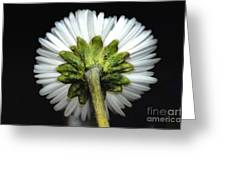 Backside Of A Daisy Flower Greeting Card