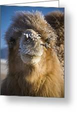 Bactrian Camel Camelus Bactrianus Greeting Card