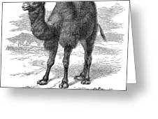 Bactrian Camel Greeting Card