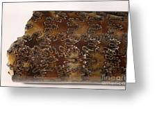 Baculites Fossil Greeting Card