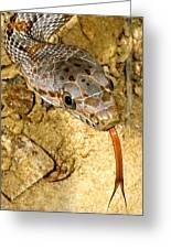 Bairds Rat Snake Tongue Flick Greeting Card