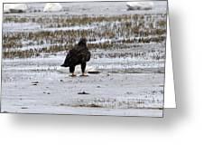 Bald Eagle - Immature - 0031 Greeting Card