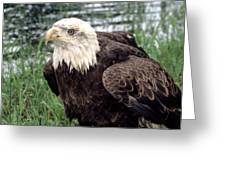 Bald Eagle At Riverside  Greeting Card