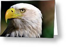 Bald Eagle Close Up Greeting Card