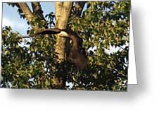 Bald Eagle Decending From Nest Greeting Card
