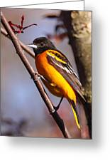 Baltimore Oriole Iv Greeting Card