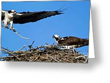 Banff - Osprey 1 Greeting Card
