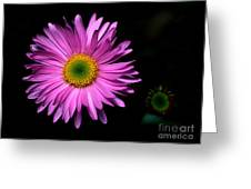 Banff - Subalpine Fleabane Greeting Card
