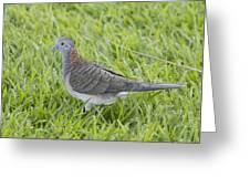 Bar-shouldered Dove Greeting Card