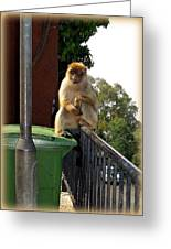 Barbary Ape Greeting Card