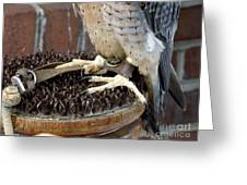 Barbary Falcon Feet Greeting Card