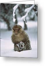 Barbary Macaque Macaca Sylvanus Male Greeting Card