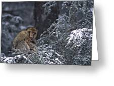 Barbary Macaque Male With Infant Greeting Card
