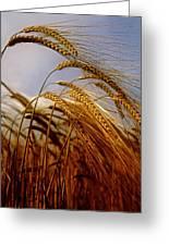 Barley, Co Meath, Ireland Greeting Card