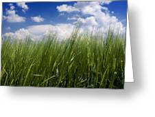 Barley Field  In Limagne. Auvergne. France Greeting Card