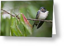 Barn Swallow Hirundo Rustica Fledgling Greeting Card by Cyril Ruoso