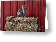 Barnyard Cat Greeting Card