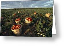 Baskets Of Fresh Tomatoes In A Field Greeting Card