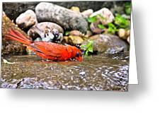 Bathing Cardinal Greeting Card