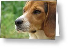 Beagle Gaze Greeting Card