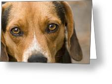 Beagle Hound Dog Eyes Of Love Greeting Card
