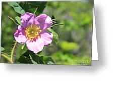 Beaming Wild Rose Greeting Card