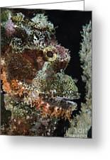 Bearded Scorpionfish, Indonesia Greeting Card