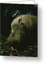 Bearded Swine Sus Barbatus Greeting Card