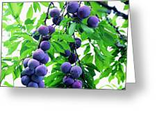 Beautiful Blue Plums On The Tree Greeting Card