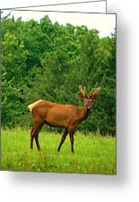 Beautiful Bull Elk In Velvet Greeting Card