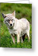 Beautiful Coyote In Alaska Greeting Card