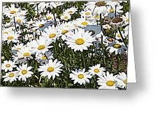 Beautiful Daisies Greeting Card