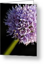 Beautiful Purple Flower Allium Senescens Greeting Card