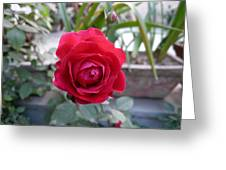 Beautiful Red Rose In A Small Garden Greeting Card