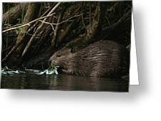 Beaver Building A Dam, Ozark Mountains Greeting Card by Randy Olson