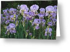 Bed Of Irises, Provence Region, France Greeting Card