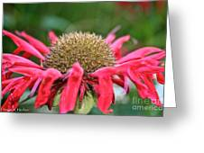 Bee Balm Button Greeting Card