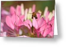 Bee In Flight Over Cleome Flower Greeting Card