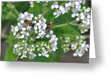 Bee Of The White Flower Greeting Card