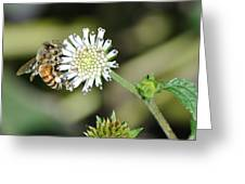 Bee On White Clover Greeting Card