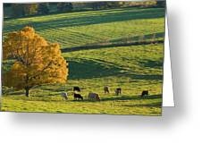Beef Cattle Grazing In Autumn, North Greeting Card