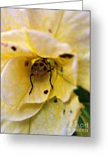 Beetle In Yellow Flower Greeting Card